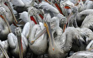 Почему гибнут пеликаны у побережья Перу